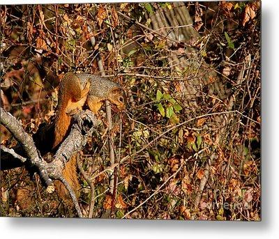 Eastern Fox Squirrel Metal Print by Jack R Brock