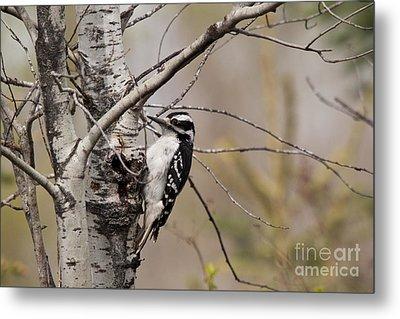 Hairy Woodpecker Metal Print by Linda Freshwaters Arndt