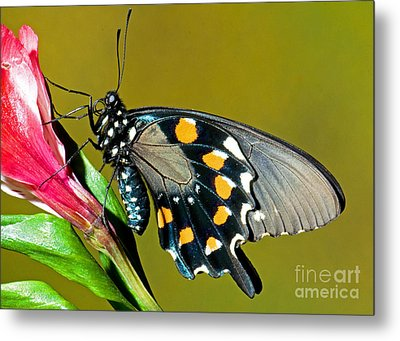 Pipevine Swallowtail Butterfly Metal Print by Millard H. Sharp