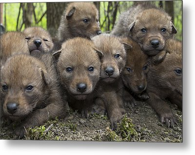 4 Week Old Wild Coyote Pups In Chicago Metal Print by Suzi Eszterhas