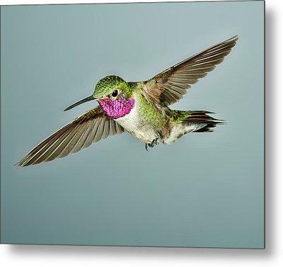 Broadtail Hummingbird Metal Print by Gregory Scott