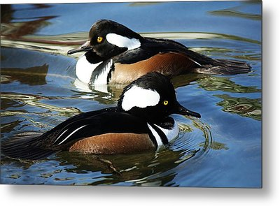 Hooded Merganser Metal Print by Paulette Thomas