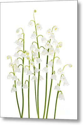Lily-of-the-valley Flowers  Metal Print by Elena Elisseeva