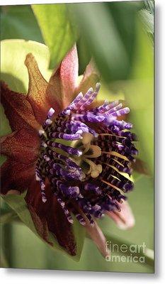 Passion Flower Passiflora Sp Metal Print by Maria Mosolova