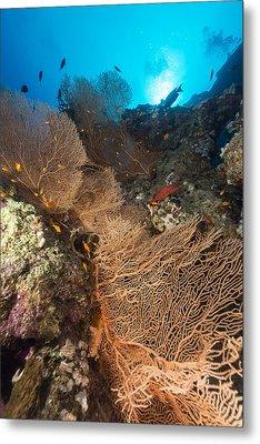 Sea Fan And Tropical Reef In The Red Sea. Metal Print by Stephan Kerkhofs