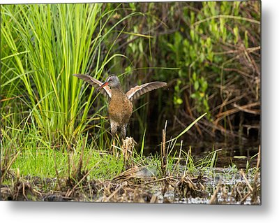 Virginia Rail Rallus Limicola Metal Print by Linda Freshwaters Arndt