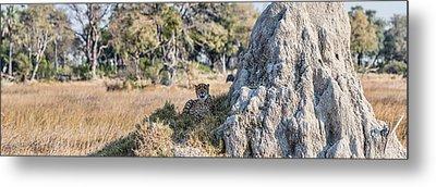 Cheetah Acinonyx Jubatus Resting Metal Print by Panoramic Images
