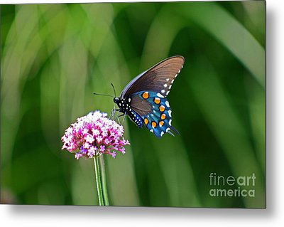 Pipevine Swallowtail Butterfly Metal Print by Karen Adams