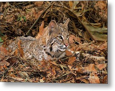 611000006 Bobcat Felis Rufus Wildlife Rescue Metal Print by Dave Welling