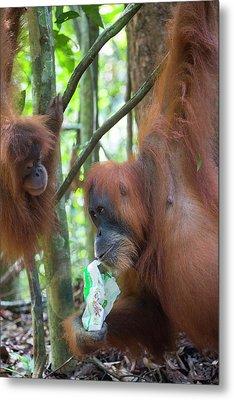 Sumatran Orangutan Metal Print by Scubazoo