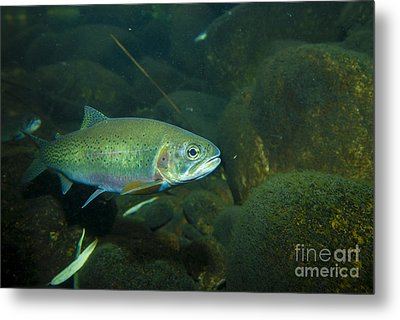 Westslope Cutthroat Trout Metal Print by William H. Mullins