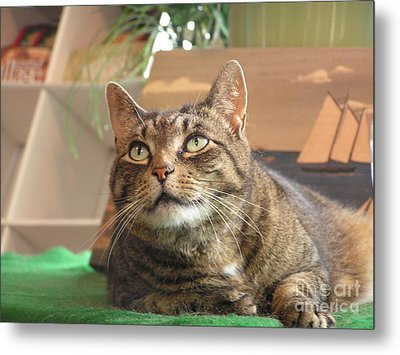 #764 D77 Tiger Cat Lu Looking Up Metal Print by Robin Lee Mccarthy Photography