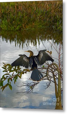 Anhinga Metal Print by Mark Newman