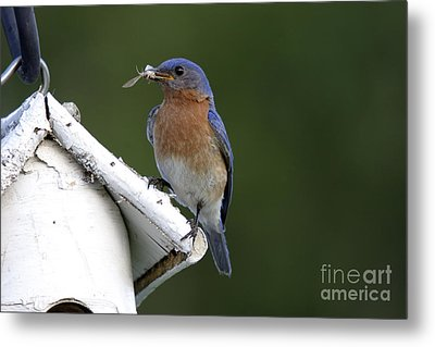 Eastern Bluebird Metal Print by Linda Freshwaters Arndt