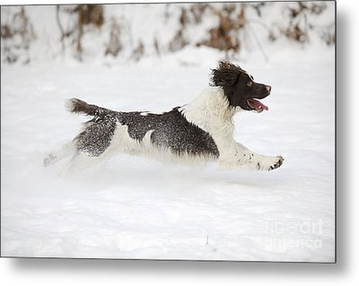 English Springer Spaniel Metal Print by John Daniels