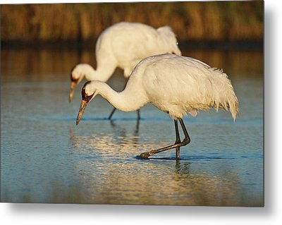 Whooping Crane (grus Americana Metal Print by Larry Ditto