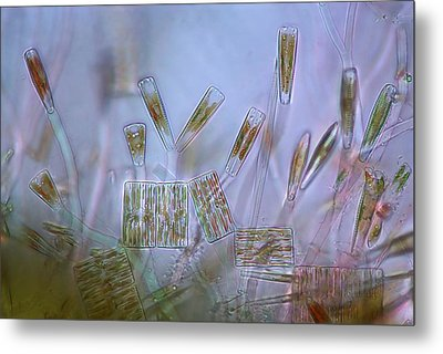 Diatoms, Light Micrograph Metal Print by Science Photo Library