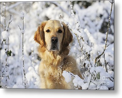 Golden Retriever In Snow Metal Print by John Daniels