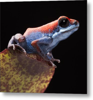 Poison Dart Frog Metal Print by Dirk Ercken