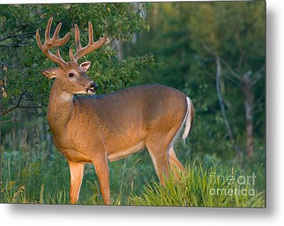 White-tailed Buck Metal Print by Linda Freshwaters Arndt