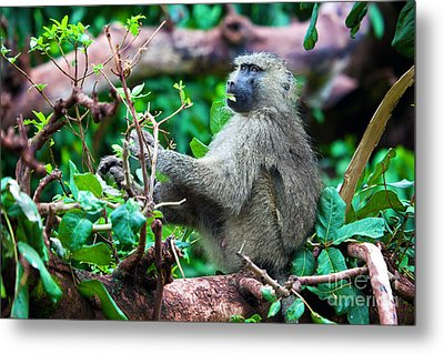 A Baboon In African Bush Metal Print by Michal Bednarek