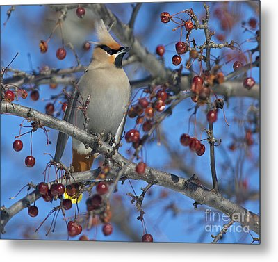 A Bird For Its Crest.. Metal Print by Nina Stavlund