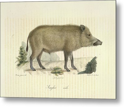 A Boar Metal Print by British Library