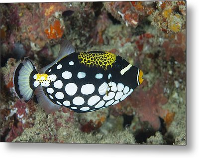 A Clown Triggerfish In The Maldives Metal Print by Science Photo Library