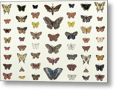 A Collage Of Butterflies And Moths Metal Print by French School