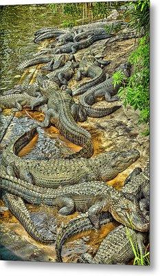 A Congregation Of Alligators Metal Print by Rona Schwarz