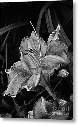 A Daylily Bloom In Original Black And White Metal Print by ImagesAsArt Photos And Graphics