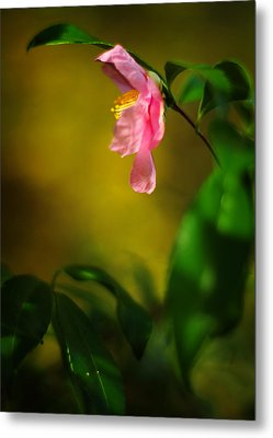 A Golden Day Portrait Of A Pink Camellia Metal Print by Rebecca Sherman