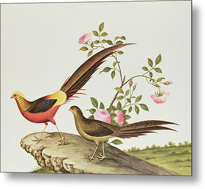 A Golden Pheasant Metal Print by Chinese School
