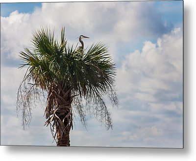 A Great Blue Heron Nests On A Cabbage Palmetto Metal Print by Karen Stephenson