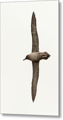 A Light Mantled Albatross Metal Print by Ashley Cooper