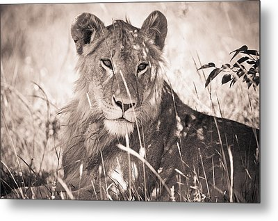 A Lioness Lays In The Shade Kenya Metal Print by David DuChemin