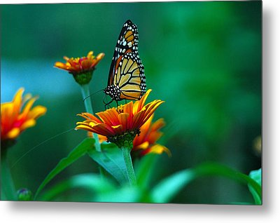 A Monarch Metal Print by Raymond Salani III