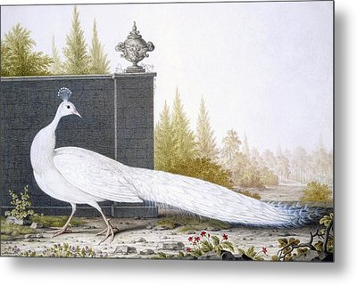 A White Peahen Metal Print by English School