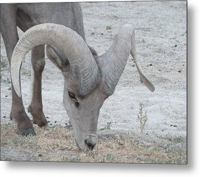 A Young Desert Bighorn Grazes On Metal Print by Carolina Liechtenstein