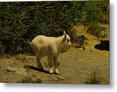 A Young Mountain Goat Metal Print by Jeff Swan