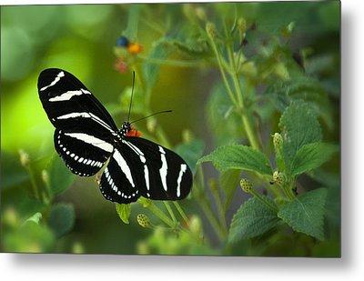 A Zebra Longwing Butterfly  Metal Print by Saija  Lehtonen
