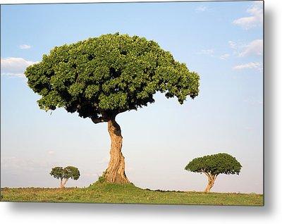 Acacia Trees Masai Mara Kenya Metal Print by Ingo Arndt