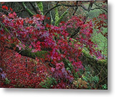 Acer Chatsworth Gardens Metal Print by Jerry Daniel