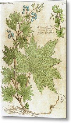 Aconitum Seventeenth-century Engraving Metal Print by Prisma Archivo