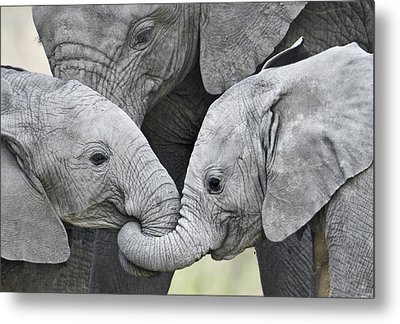 African Elephant Calves Loxodonta Metal Print by Panoramic Images