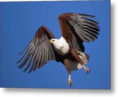 African Fish Eagle Metal Print by Johan Swanepoel