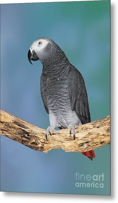 African Gray Parrot Metal Print by Anthony Mercieca