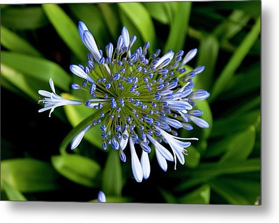 Agapanthus (african Lily) Metal Print by Mark Williamson