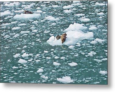 Alaska Seals Metal Print by Aimee L Maher Photography and Art Visit ALMGallerydotcom