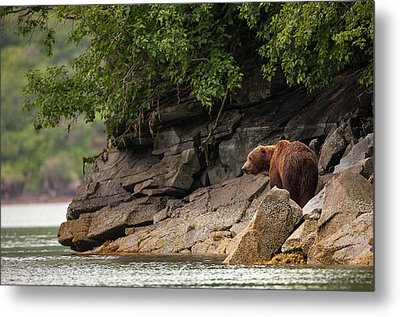 Alaskan Grizzly Bear, Ursus Arctos Metal Print by Jak Wonderly